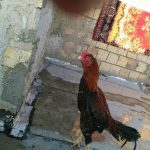 خروس لاری افغان