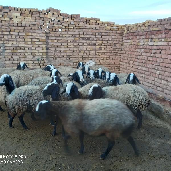 گوسفند نژاد شال و قزل افشار