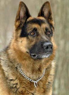 سگ ژرمن شپرد