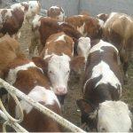 تهیه فروش پرواری گوسالهاداشتی نژادهای درجه1