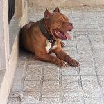 سگ پیت بول وارداتی گواهی کتبی