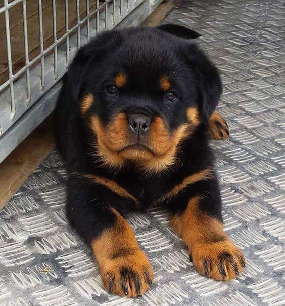 سگ روتوایلر گواهی اصالت کتبی