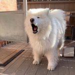 سگ سامویید اصالت کتبی مادام العمر