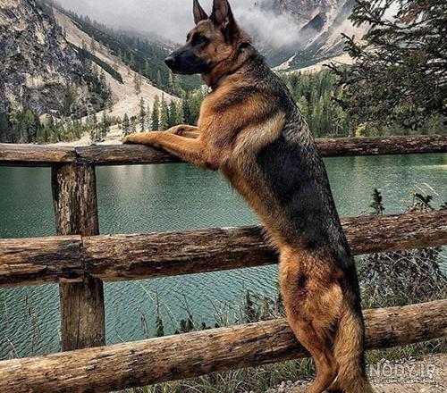 توله سگ ژرمن شولاین