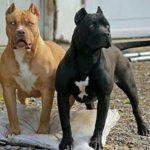 توله سگ پیت بول ( معروف به شکست ناپذی )