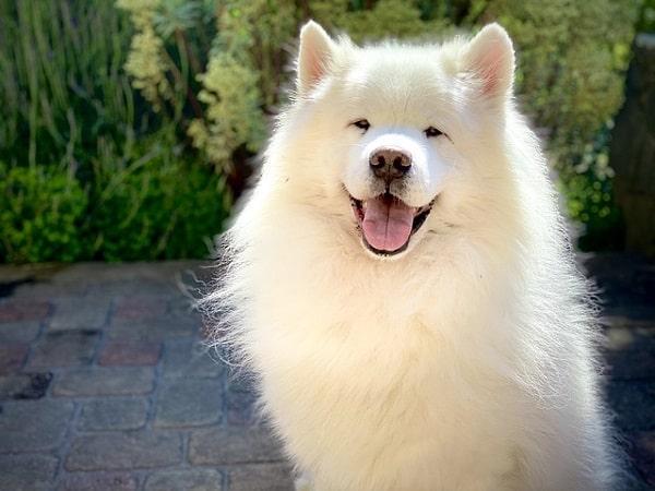 سگ سامویید گواهی اصالت کتبی