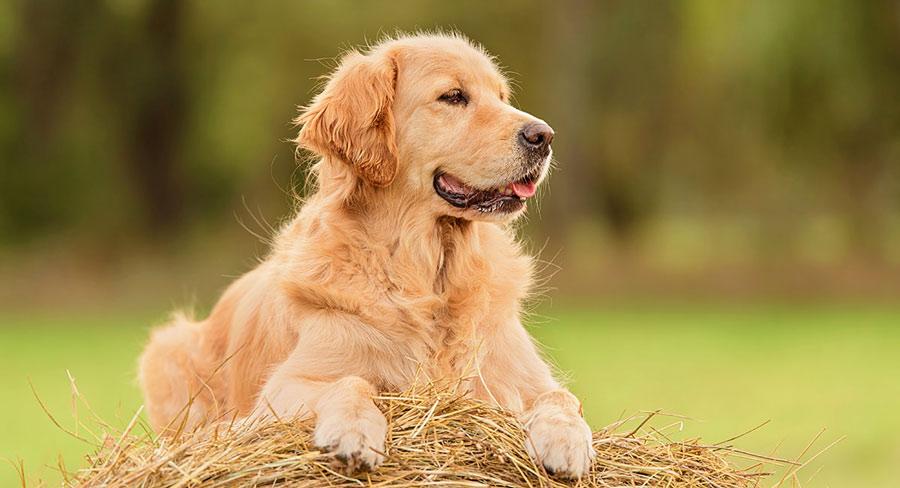 فروش سگ گلدن طلایی اصیل
