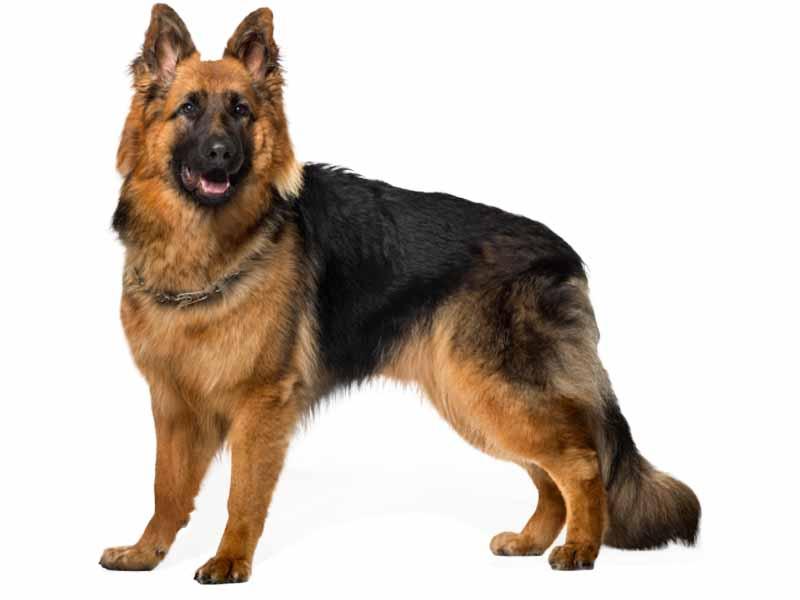 فروش سگ ژرمن شپرد مو بلند و مو کوتاه