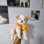 سگ شیتزو پامر