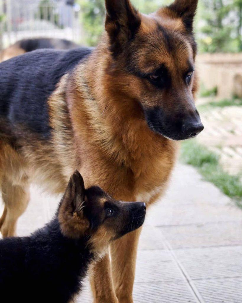 سگ ژرمن شپرد توله وبالغ بااصالت