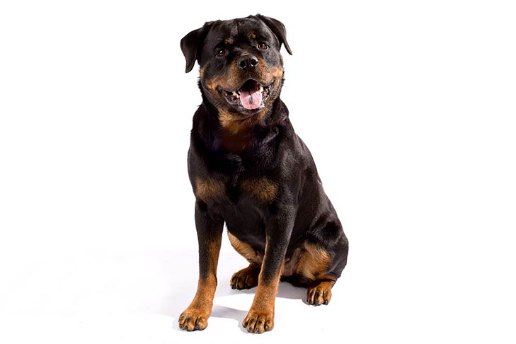 فروش سگ روتوایلرپوزه دلقکی نروماده