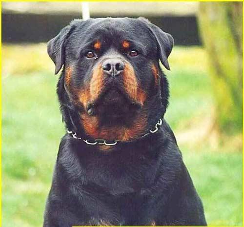 فروش سگ روتوایلر پوزه مکعبی توله